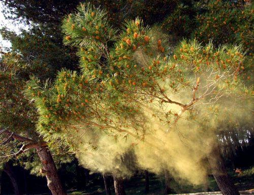 Cu ce na ajută polenul de pin?