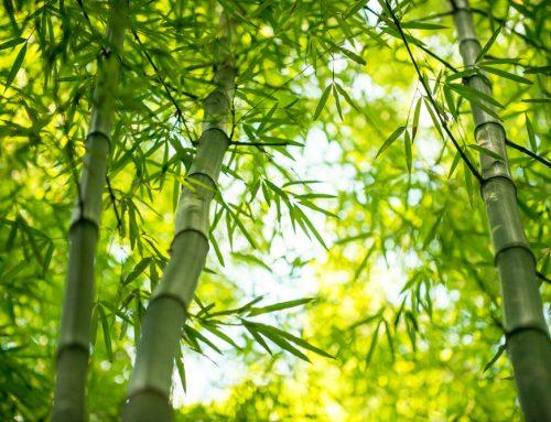 Acțiunea flavonoidelor din frunzele de bambus împotriva prostatitei