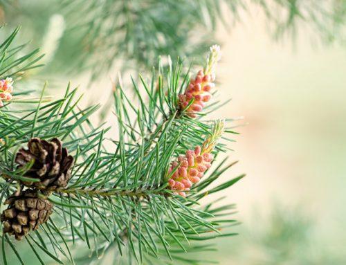 Ce este Polenul de pin și cu ce ne ajută?