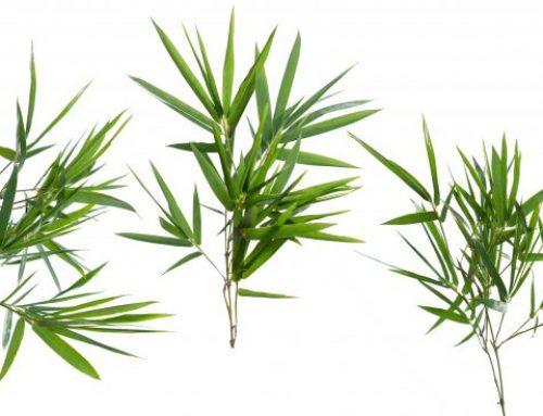 Ce este Extractul de bambus?