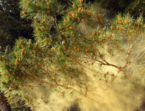 Cum ne ajută polenul de pin?